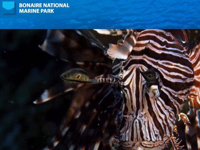 Bonaire National Marine Park Lionfish News