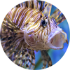 Lionfish Central - helping to evaluate, educate and eradicate invasive lionfish from our reefs