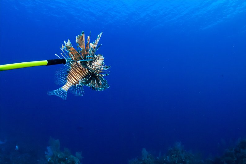 Lionfish Derbies and Tournaments